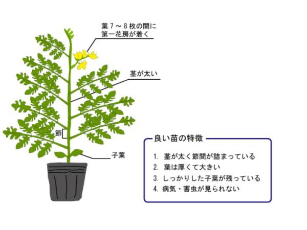 トマトのプランター栽培、方法・時期・育て方のコツ5つ
