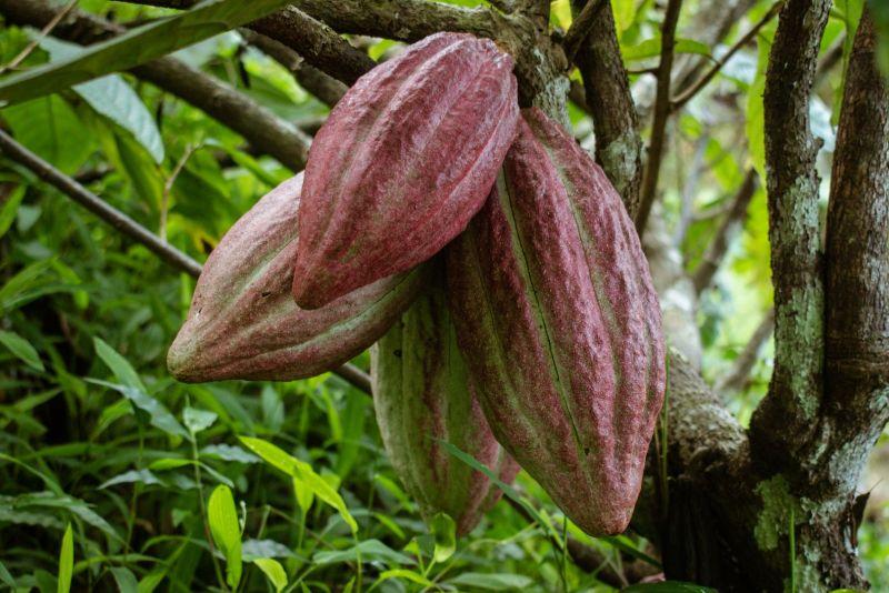 Cocoa or Chocolate Fruits on a Cocoa Tree at Sharanyam Homestay, Wayanad