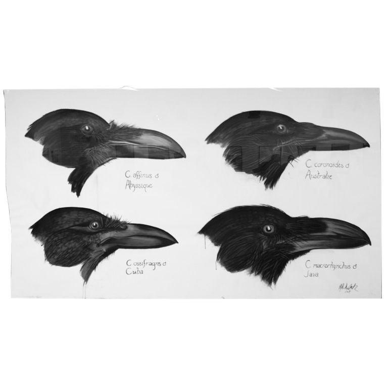 Four Species Of Crow Ink Charcoal Scientific
