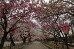 造幣局の桜の通り抜け!見所・おすすめアクセス方法も紹介!