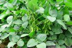 枝豆の栽培は簡単!育て方・必要なアイテムは?夏は自家製を味わおう