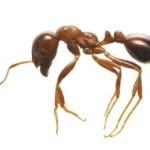 ヒアリ(火蟻)の特徴を画像で知ろう!発見した・刺された場合は?