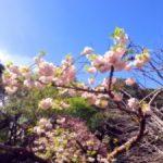 八重桜の名所!関東で有名なスポットは?