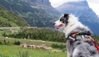 Perro negro y blanco supervisando a los carneros monteses en una ladera (NPS/A.W. Biel)