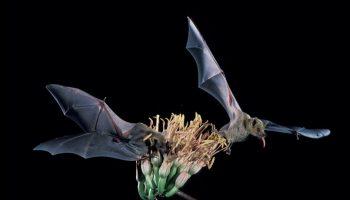Dos murciélagos sobre una planta de agave. (Servicio de Pesca y Fauna Silvestre de Estados Unidos)