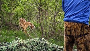 Tigre de Amur tras una reja (© Amur Tiger Center/WWF/AP)