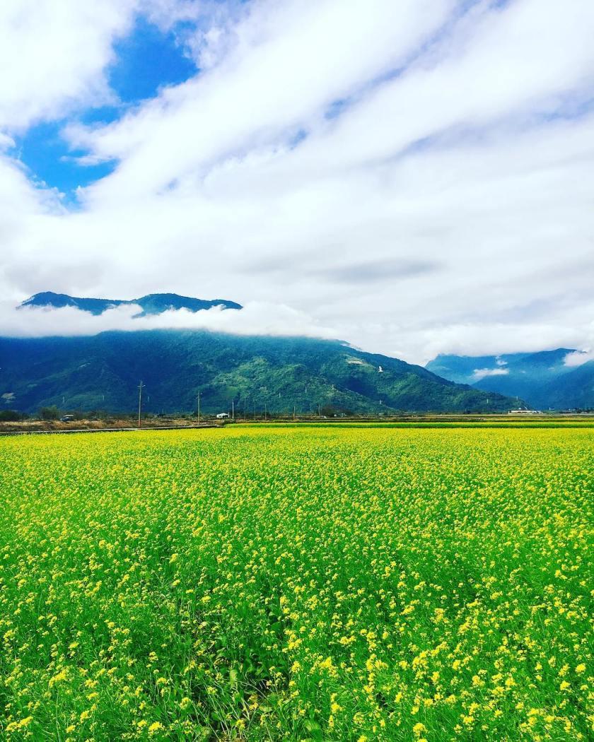 花東縱谷的精華地帶是台灣稻米的重要栽種區,而從台東的鹿野、關山、池上一帶,在稻作休耕期間都會種上滿滿油菜花,黃澄澄一片的花海,配上遠方山景和台東獨有的悠閒氣氛,放鬆指數滿點!