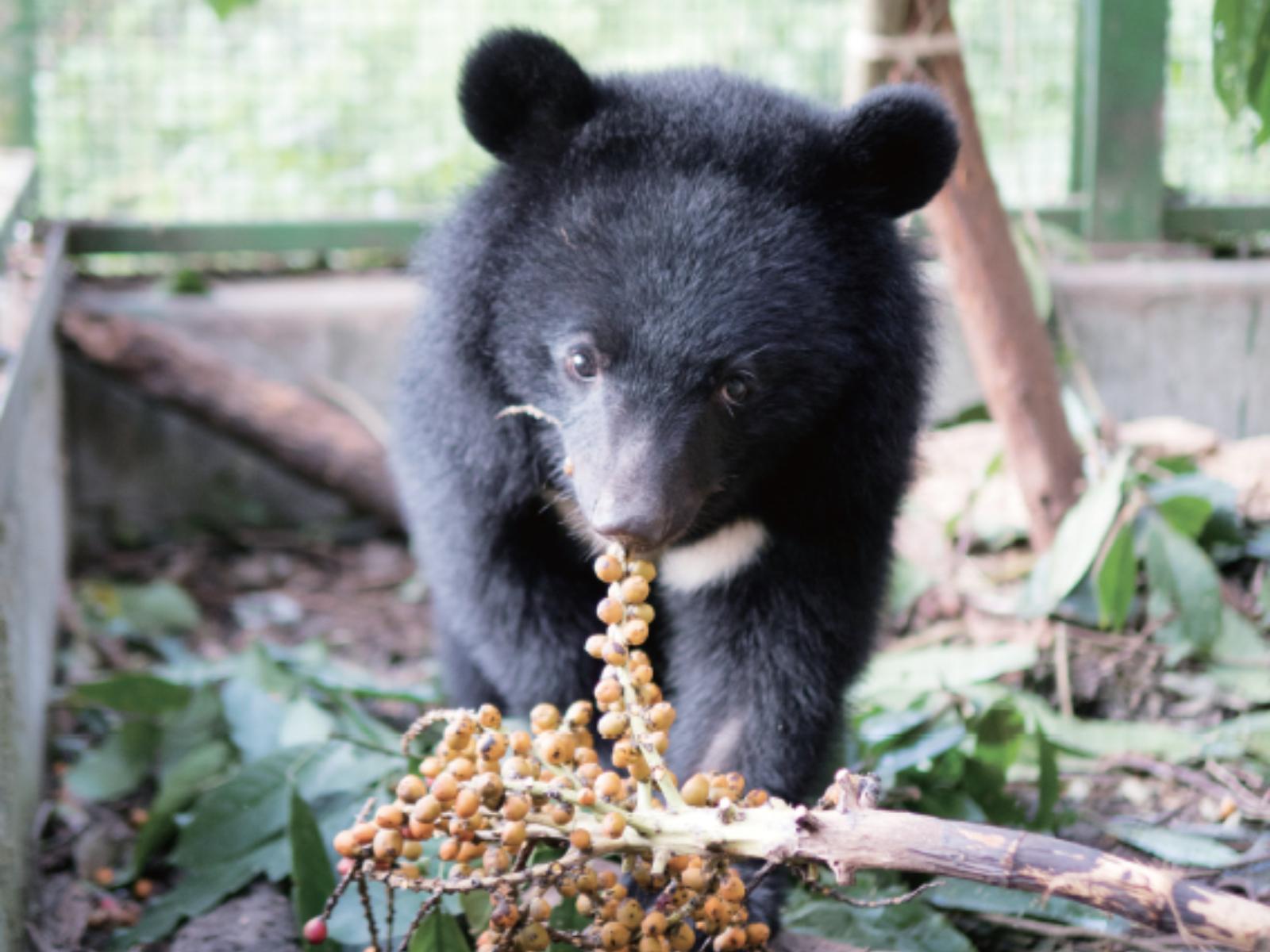 南安小熊野放成功背後的重要推手:黃美秀研究臺灣黑熊 23 年。用專業的愛送牠回家 | 女子學