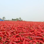 Bogra-Red-Chilli-i-thereport24