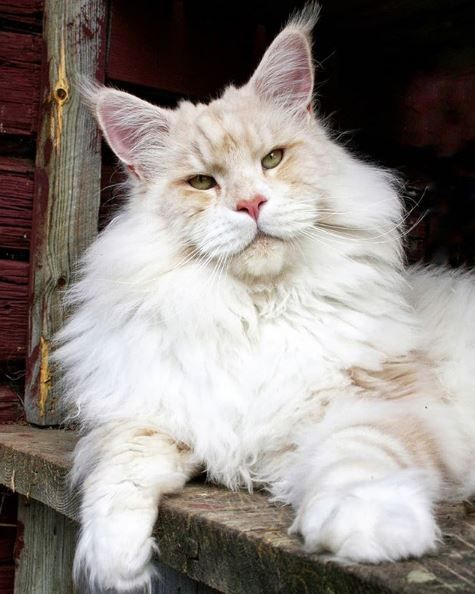 Flame Point Maine Coon : flame, point, maine, Internet, Falling, Ridiculously