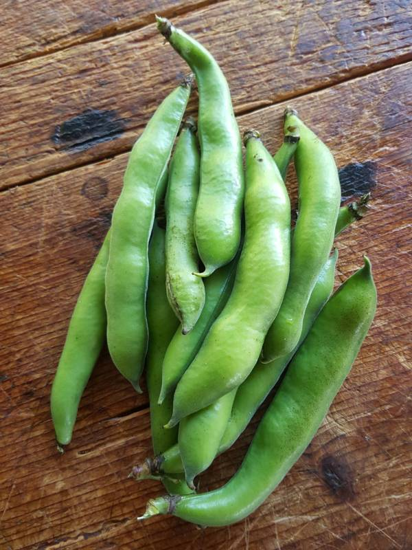 Broad beans 3
