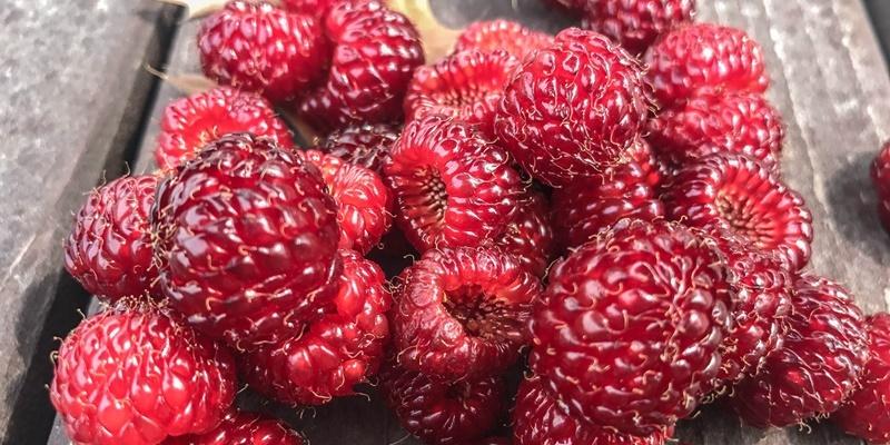 [과일 칼럼] 상큼한 붉은 빛의 산딸기