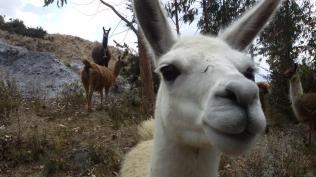 Some local llamas