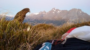 Cheeky kea wakes me up