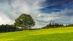 Einzelner Baum auf Feld