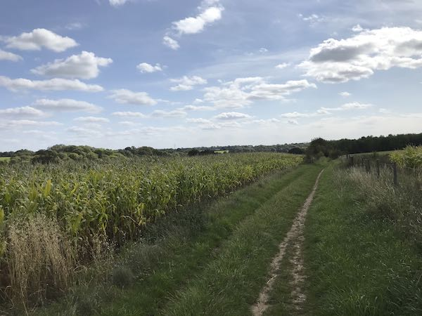 Maize all around on the walk towards Ley Hill
