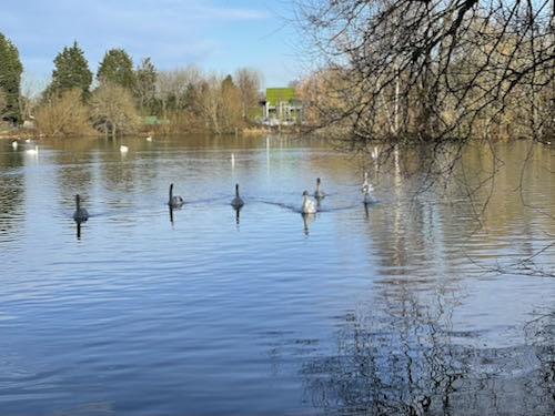 The swans chase us during the Harefield Loop Walk