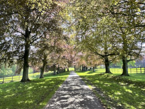 Lovely shady avenue on the Loop walk on the South Down Way