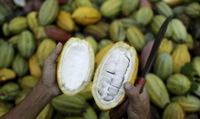 Masa Panen Tanaman Kakao atau Coklat