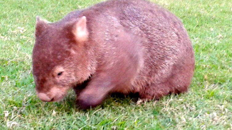 wombat 3