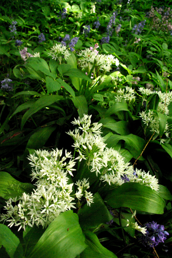 Our Wild Garlic is here!