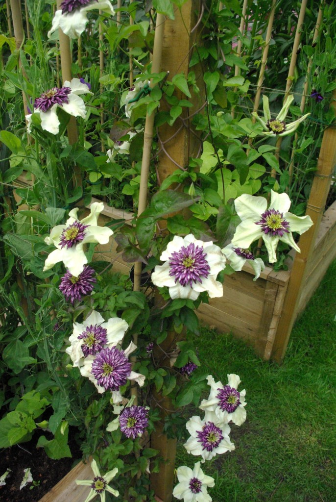 Clematis in Kitchen Garden