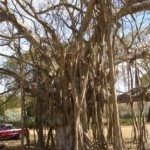 banyan tree