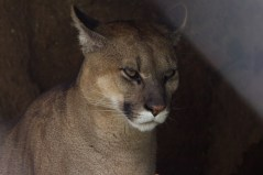 3 pumas were rescued from a bar where they were drugged & used for show. So sad.