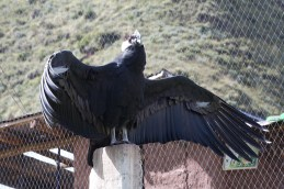 condor on its perch