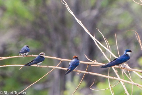 Barn Swallows