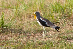 White crowned lapwing