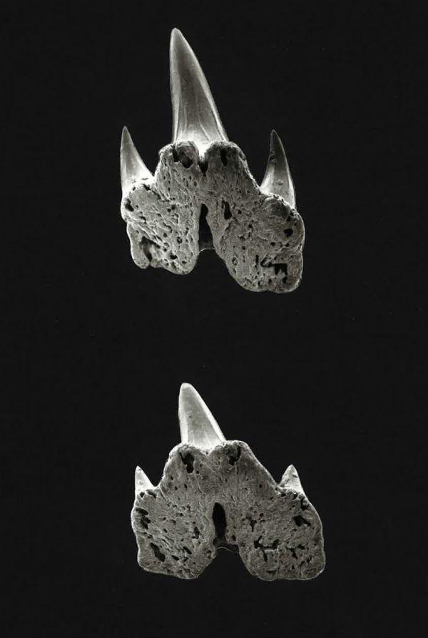 Atelomycterus Marmoratus Shark-references