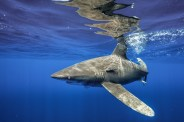 Oceanic whitetip off Cat Island, Bahamas. Photo courtesy of Andy Mann.