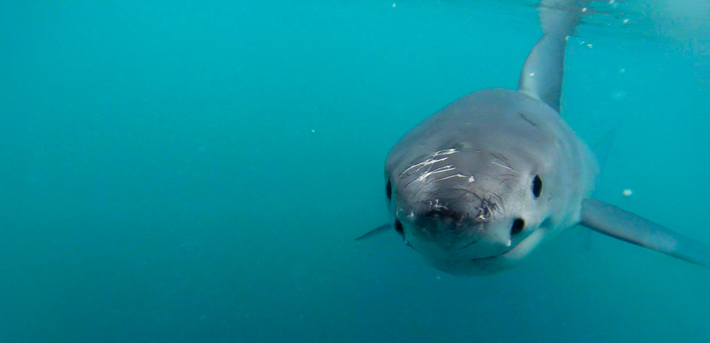Shark Tourism and Cage Diving