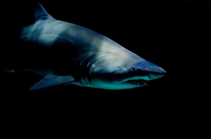 水族館でおなじみのサメ!シロワニの特徴、大きさ、寿命、危険度とは