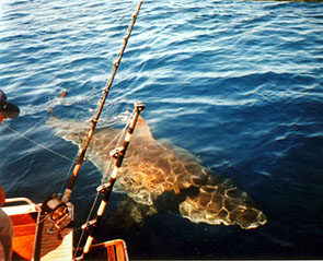 Middelandse zee haaien