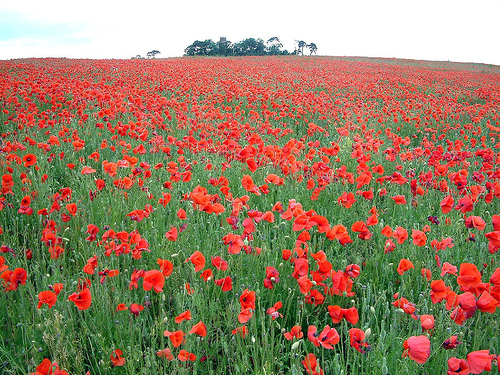 Poppies and Poetry for Veteran's Day | Sharon Biggs Waller