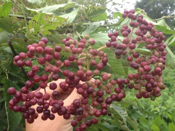 Unripe elderberries