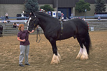 A Shire Draft Horse from Wikipedia
