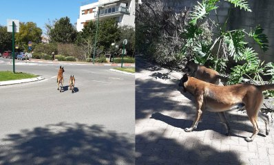 כלבים משוטטים בין כפר סבא לרעננה