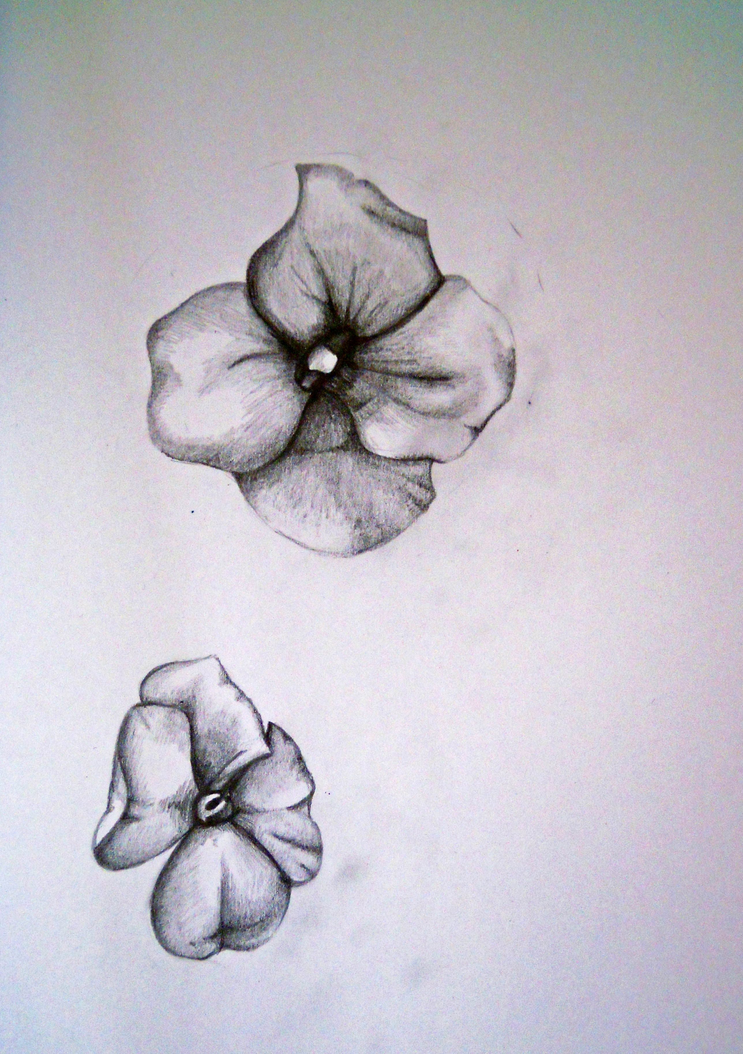 How To Draw A Violet Flower : violet, flower, Shrinking, Violet, Sharon, Mossbeck