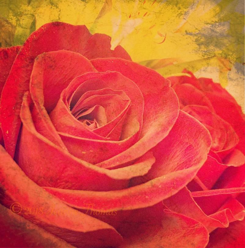 Rose ©Jeanne Thomas
