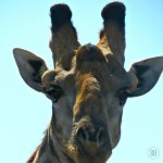 The giraffe paused her treetop munching as we approached (Zambia). Gentle eyes shaded with Hollywood eyelashes studied our truck of humans. Her baby was less than interested. Both posed long enough for lots of photos. Bonus!