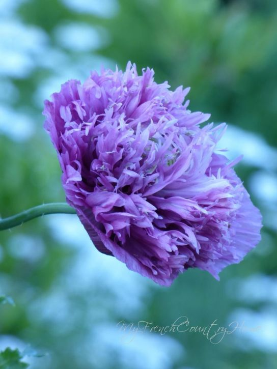 large purple double poppy