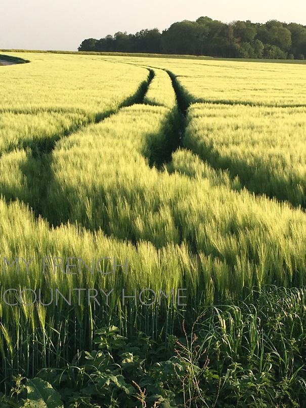 fields of barley in evening light
