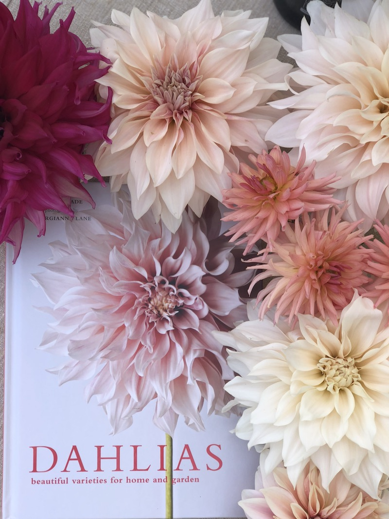 dahlias book with blooms