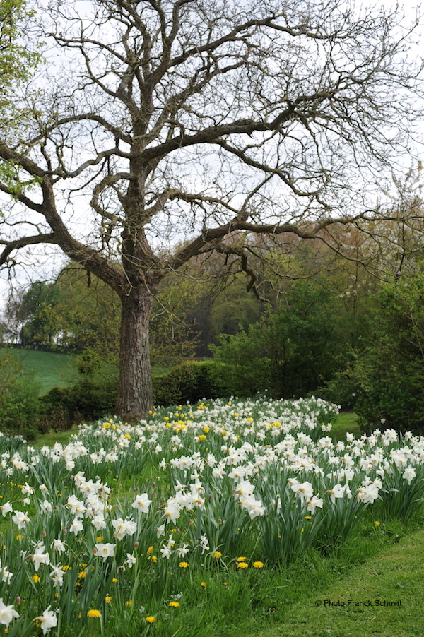 daffodils in bloom beneath oak tree
