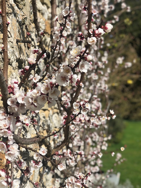blossoms in a spring garden at My French Country Home by Sharon Santoni