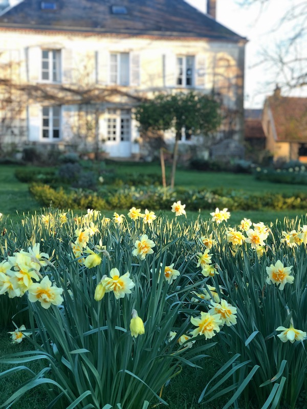 daffodils in a spring garden at My French Country Home by Sharon Santoni