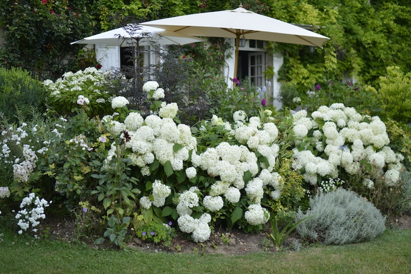 Hydrangeas In My Garden My French Country Home